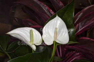 White spathe and spadix of Anthurium andreanum cultivar against background of green leaves and red foliage of cordyline ' Pink Champion.'