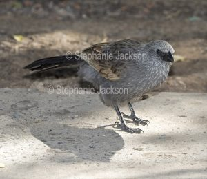 Apostlebird, Struthidea cinerea, on the ground in the town of Springsure in central Queensland Australia.