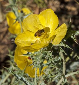 Golden yellow flower and foliage of prickly poppy, Argenone ochrole, a weed species in Australia, with a bee collecting pollen.