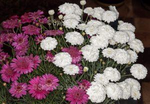 Cluster of Red and whte flowers of Argyranthemum frutescens - marguerite daisies.
