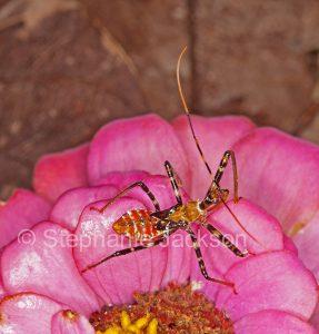 Assassin bug nymph, Pristhesancus plagipennis, on a pink zinnia flower in a garden in Queensland Australia