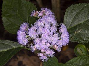 Fluffy mauve flowers of Flowers of Bartlettina sordida nana syn Eupatorium, dwarf Mexican Mist Flower / Purple Torch Flower