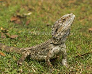 Bearded dragon lizard, Pogona barbata, on garden lawn in Queensland Australia.