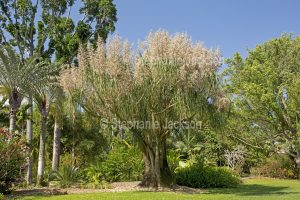Pony tail palm, Beaucarnea recurvata with masses of flowers in garden under blue sky