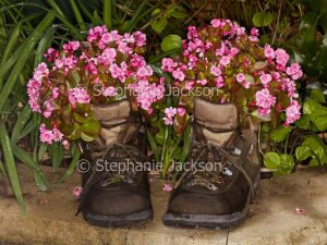 Recycling, pink flowers of bedding begonia, Begonia semperflorens, in recycled old leather boots.
