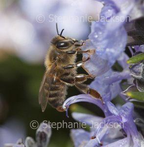 Honey bee on mauve flowers of rosemary in Victoria Australia.