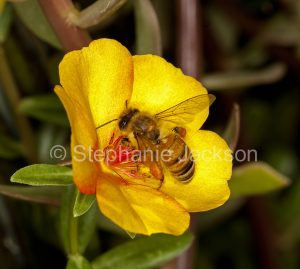 Honey bee on yellow flower of portulaca in Queensland Australia