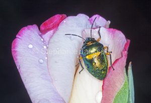 Green beetle on the flower of a rose in a garden in Queensland Australia