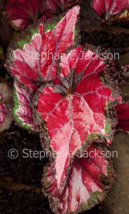 Bright red leaves of Begonia rex 'Inca Night'.