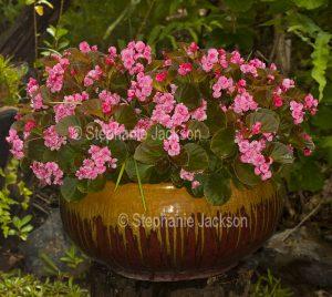 Bedding begonias, Begonia semperflorens, growing in a large decorative ceramic pot in an Australian garden.