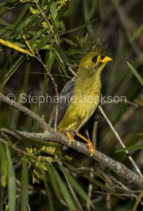 Bell MIner, Manorina melanophrys, a species that's commonly known as a Bellbird, in a forest in NSW Australia