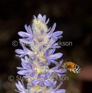 Blue-banded bee, Amegilla cingulata on mauve flowers in Queensland Australia