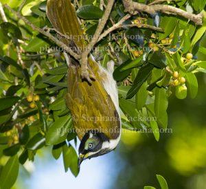 Blue-faced honeyeater, Entomyzon cyanotis, in an native fig tree in Maryborough, Queensland.
