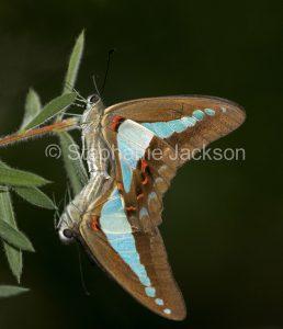 Blue triangle butterflies mating, on leaf of callistemon tree in Queensland Australia