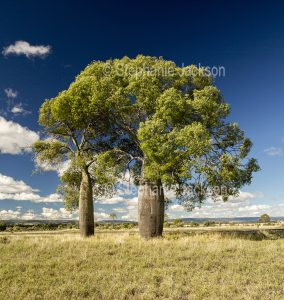 Bottle trees, Brachychiton species, in rural landscape north of Mitchell in outback Queensland Australia.