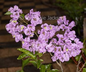 Mauve flowers / bracts of Bougainvillea araroma, thornless species with perfumed flowers, Tree Bougainvillea.