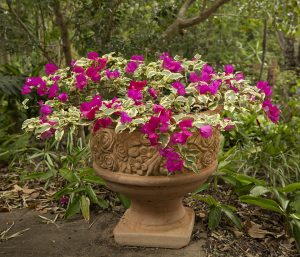 Bambino bougainvillea with variegated leaves and red flowers in decorative terracotta container