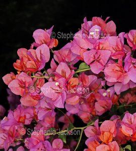 Cluster of vivid pink / orange flowers / bracts of bougainvillea bambino 'Bokay' on black background