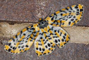 Geometrid moth, Bracca rotundata in Queensland Australia