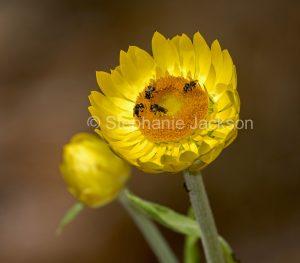 Golden yellow flower of Bracteantha bracteata, Everlasting Daisy, with native bees collecting pollen, on Fraser Island, Queensland, Australia.