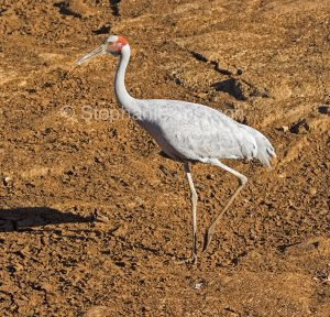 Brolga, Grus rubicunda, in the dry bed of the Burke River near Boulia in outback Queensland Australia