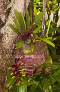 Bromeliad growing in recycled leather handbag, hanging from a branch of a tree