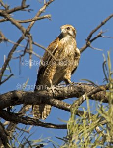 Brown falcon, Falco berigora, in Queensland Australia