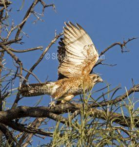 Brown falcon, Falco berigora, in flight in Queensland Australia