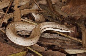 Burton's snake-lizard, Lialis burtonis, a legless lizard, in Queensland Australia,