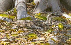Bush Stone-curlew, Burhinus grallarius, a primarily nocturnal bird, sitting down and camouflaged among fallen leaves in parklands the city of Gladstone in Queensland Australia.