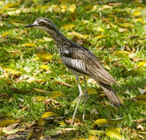 Bush Stone-curlew, Burhinus grallarius, a primarily nocturnal bird, on the lawn of parklands in the city of Gladstone in Queensland Australia.