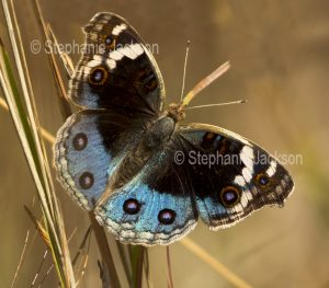 Blue Argus / Blue Pansy butterfly, Junonia orithya,, (previously Precis orithya) in central Queensland Australia