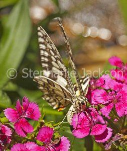 Butterfly on dianthus flowers in Queensland Australia