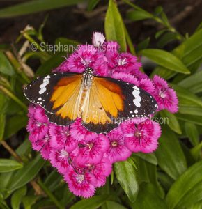 Plain Tiger butterfly, Danaus chrysippus, on pink dianthus flowers in Queensland Australia