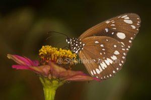 Common Crow butterfly, Euploea core, on zinnia flower