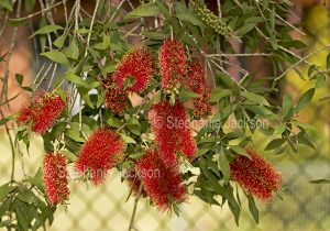 Red callistemon / bottlebrush flowers in a garden in Queensland Australia