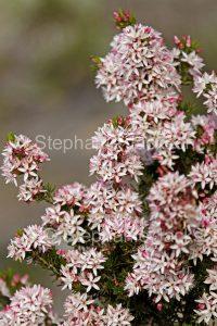 Flowers of Calytrix tetragona, fringe myrtle, at Innes National Park, Yorke Peninsula South Australia.