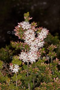 White flowers and green foliage of Calytrix tetragona, fringe myrtle, on dark background, at Innes National Park, South Australia.