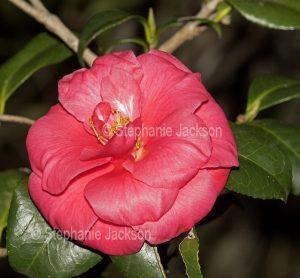 Double pink / red flower of unnamed Camellia sasanqua cultivar grown from seed