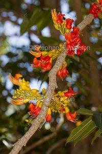 Flowers of Castanospermum australe, Black Bean Tree, in Queensland Australia.