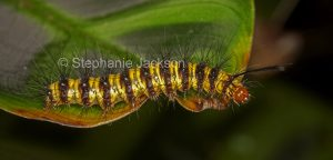 Colourful hairy caterpillar on leaf in Queensland Australia
