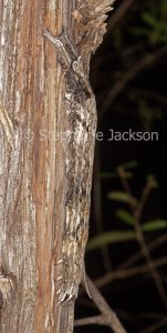 Caterpillar of guava moth, Ophiusa disjungens camouflaged on bark of leptospermum tree in Queensland Australia.