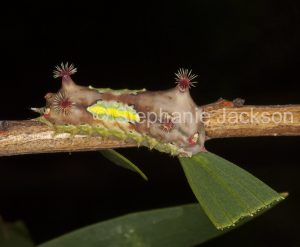 Colourful stinging caterpillar of mottled cup moth Doratifera vulnerans in Queensland Australia