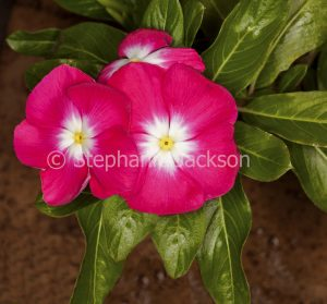 Vivid magenta red flowers and green leaves of Catharanthus roseus, commonly known as Vinca.