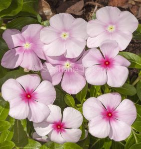 Cluster of pale pink flowers of Catharanthus roseus, commonly known as Vinca.