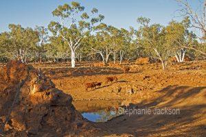 Cattle beside waterhole in arid landscape during drought - near Boulia in outback Queensland Australia