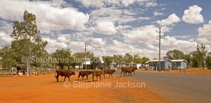 Cattle crossing the main street of the tiny outback town of Eulo in Queensland Australia
