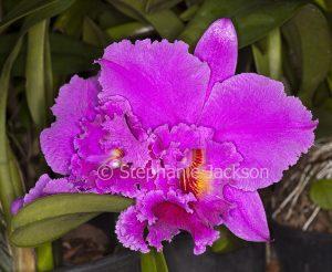 Huge vivid deep pink perfumed flower of Cattleya orchid.