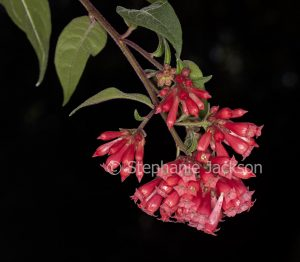 Cluster of red flowers and green leaves of Cestrum elegans on a black background