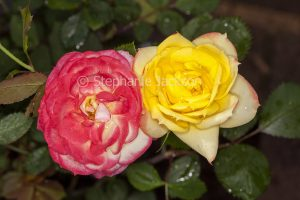 Red and yellow flowers of miniature rose 'Chameleon' showing two different coloured flowers on same plant.